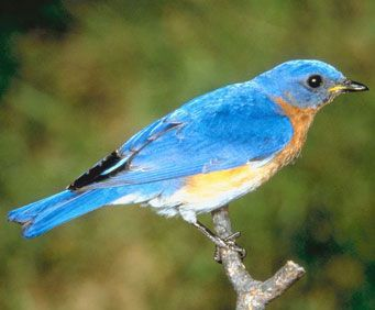 The official state bird of Missouri is the Eastern bluebird.  Known as a symbol of happiness, the bluebird became the official state bird of Missouri almost 88 years ago on March 30, 1927.