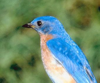 During the fall, the bluebird's feathers change to a deeper blue, along with their chests turning a brightly contrasting rust color.