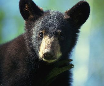 Once a common sight in Missouri forests, the black bear is slowly becoming a sight to see again.  Naturally sheepish of people, the black bear is an exciting site for kids to see, but as always, make sure you keep your distance while taking pictures.