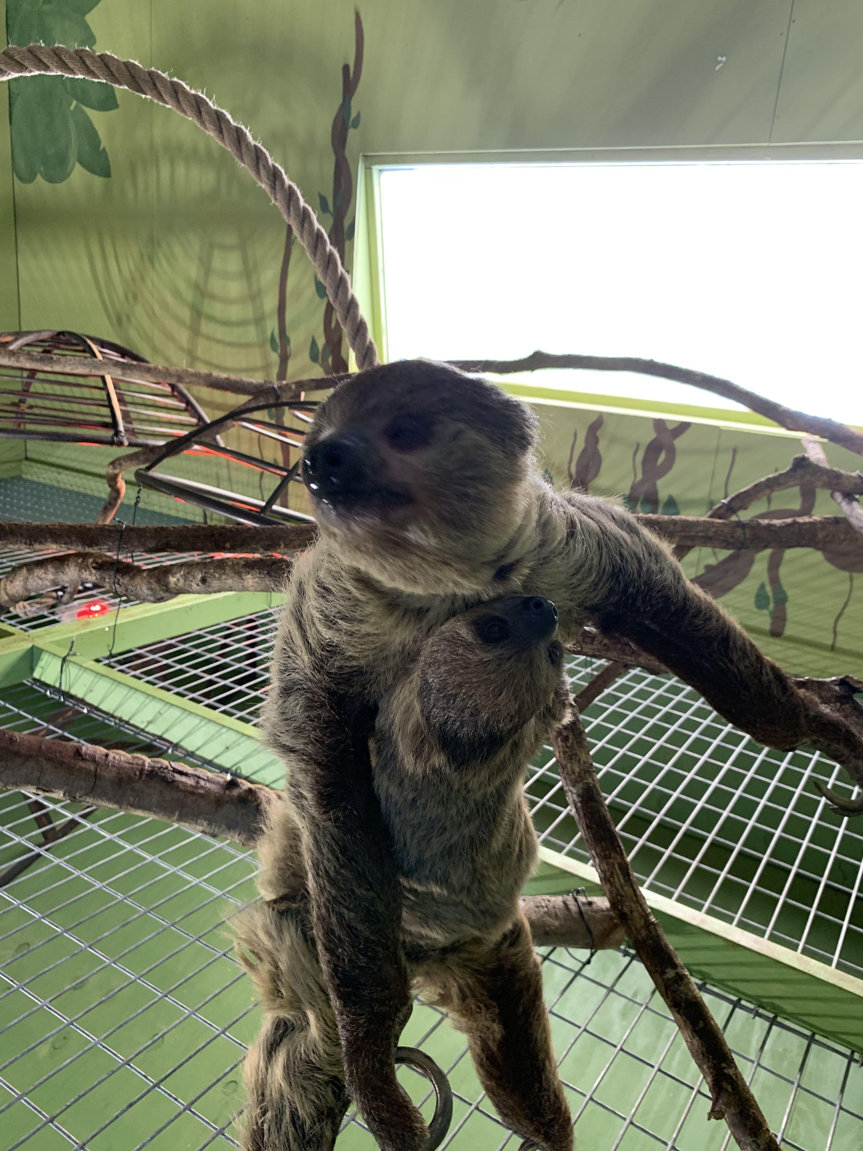 Sloths at Branson's Promised Land Zoo