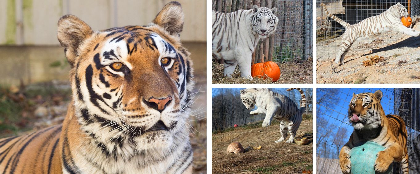 Experience the National Tiger Sanctuary